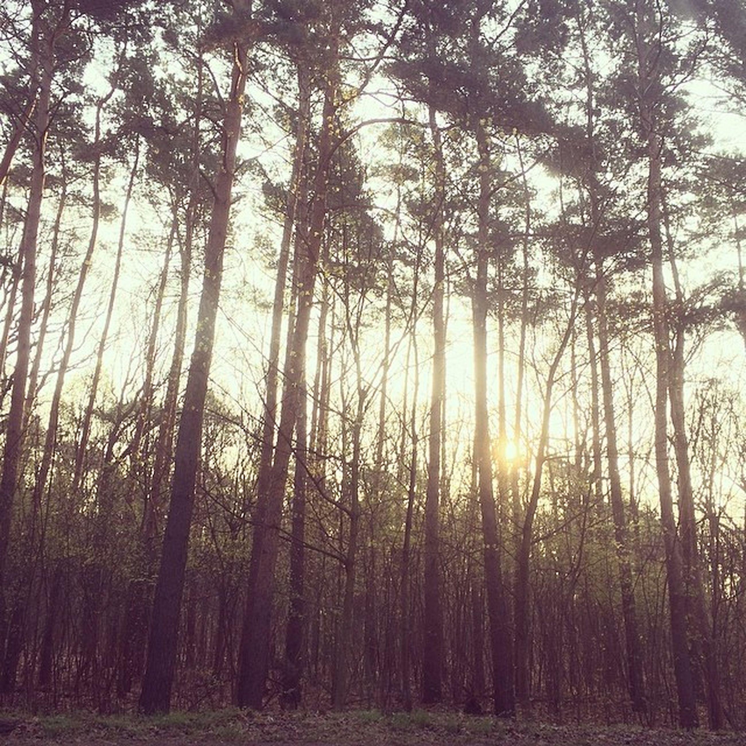 tree, tranquility, tranquil scene, sun, forest, growth, beauty in nature, scenics, nature, sunlight, woodland, tree trunk, sunbeam, sunset, non-urban scene, sky, idyllic, branch, landscape, lens flare