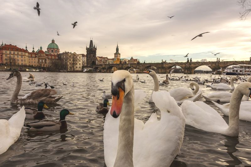 Swan Lake Drama Praha 🇨🇿 White Swan Swan Swans Swans ❤ Swan Lake מייוואןפלוס5 Prague NeverSettle EyeEm Selects Bird Animal Wildlife Flock Of Birds Large Group Of Animals Animal Sky Animals In The Wild Animal Themes Travel Destinations Bridge - Man Made Structure Group Of Animals Sunset