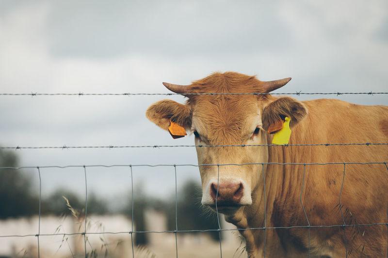 Portrait of cow at farm