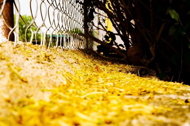 Amarillo Grass