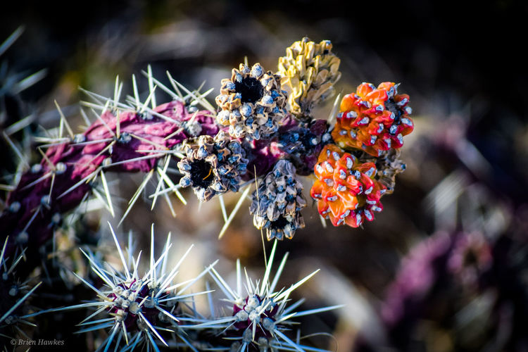 Cactus Flowers Myadventuresinamini Desert Flower Beauty Multi Colored Close-up Plant Thorn Cactus Succulent Plant