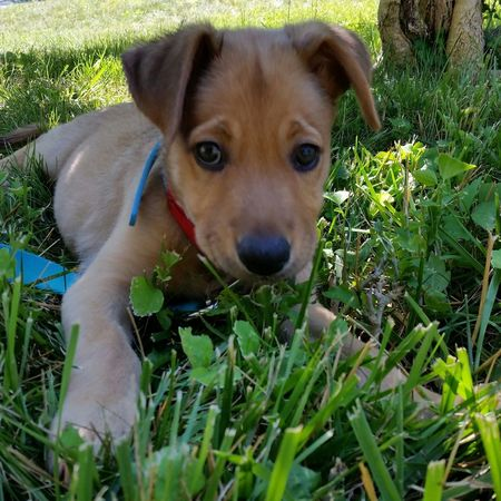 Rescue puppy from Aruba 🇦🇼 Rescue Dog Rescue Puppy Aruba Sgt Pepper's Friends Cunucu Adopt Don't Shop Adopted Puppy Dog Pets Looking At Camera Portrait One Animal Domestic Animals Mammal Grass Puppy Animal Themes Cute Outdoors Day Young Animal Close-up No People Adopted Dog Captain Puppychubbles