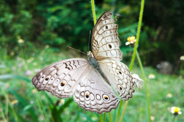 white wing of butterfly White Green Flying Beauty In Nature Beauty Beautiful Nature Nature_collection Butterfly Collection Butterfly - Insect Butterflies Butterfly - Insect Insect Spread Wings Close-up Animal Themes Butterfly Wild Animal Animal Wing