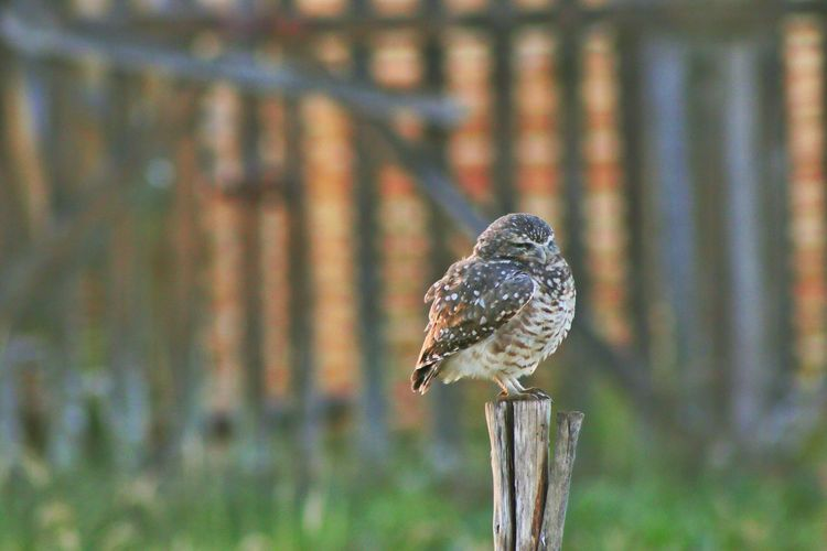 Owl on a wooden