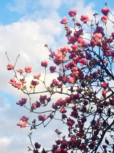 Spring Blue Sky Magnolia Blossoming Tree Sky Plant Low Angle View Flower Flowering Plant Beauty In Nature Tree