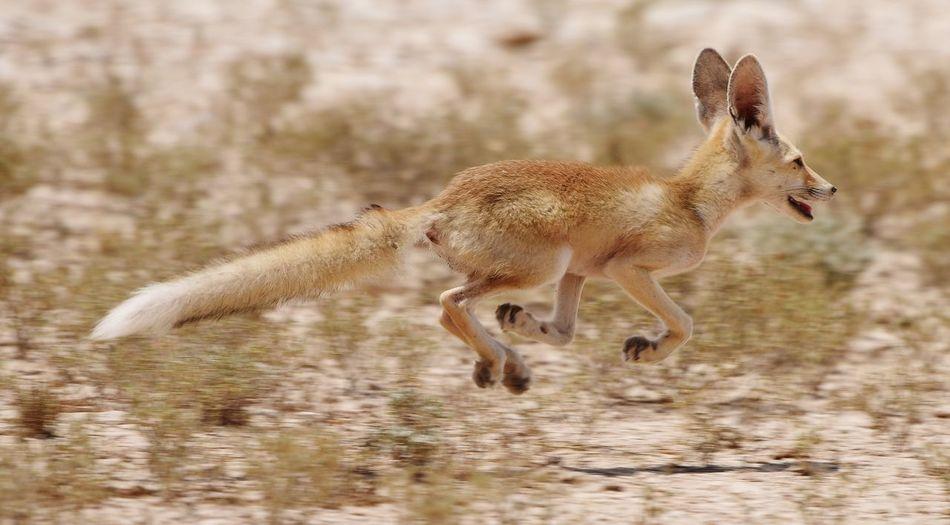 Fox Jumping On Field