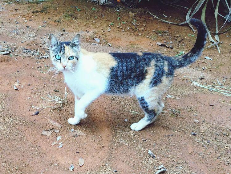 Felino Cat
