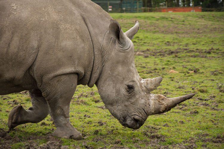 Animal Themes Animals Animals In Captivity Animals In The Wild Close-up Day Green Mammal Nature No People One Animal Outdoors Rhinoceros Safari Zoo