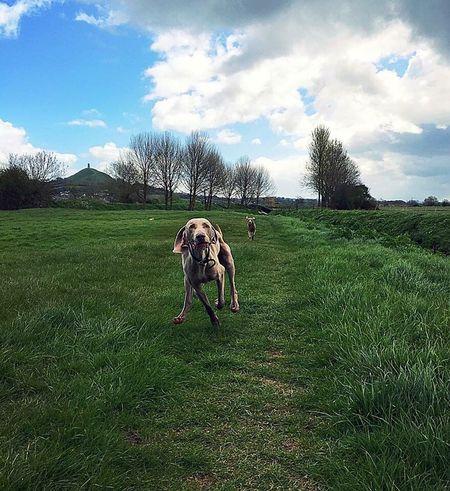 Animals Dogs Of EyeEm Dogs Outdoors Dogoftheday Glastonbury Tor