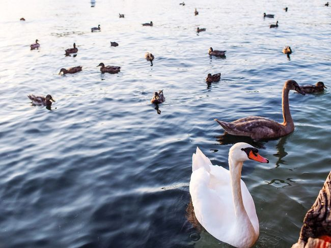 Lake Bird Animals In The Wild Water Animal Wildlife Animal Themes Swimming High Angle View Water Bird Nature Duck Large Group Of Animals No People Day Waterfront Outdoors Swan Goose Beauty In Nature Swan