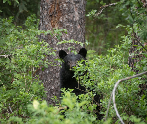 A curious black bear peeking though the trees Bear Bears Camping Hiking McBride National Park Adorable Animal Animal Themes Animal Wildlife Animals In The Wild Black Bear Brown Bear Curiosity Forest Grizzly Bear Hiding Jasper National Park Mammal Nature No People One Animal Outdoors Peeking Scary