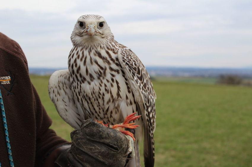 Looking At Camera EyeEm Selects Bird Of Prey Bird Perching Owl Sky Close-up Falcon - Bird Animals Hunting Hawk - Bird Confined Space Eagle - Bird Bald Eagle
