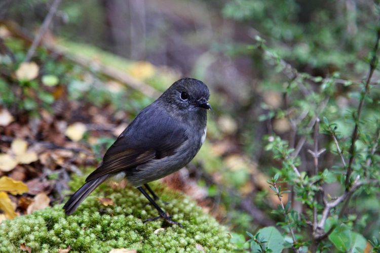 Bush robin NZ Bush Robin Nz Native Bird NZ South Island Bird Animals In The Wild Animal Wildlife One Animal Animal Themes Focus On Foreground Black Color Nature Perching No People Close-up Outdoors
