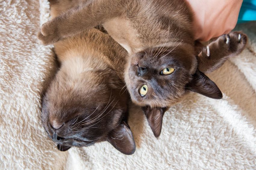 Animal Themes Brown Burmese Cat Cute Domestic Animals Domestic Cat Feline Lying Down Multiple Cats Pets Resting