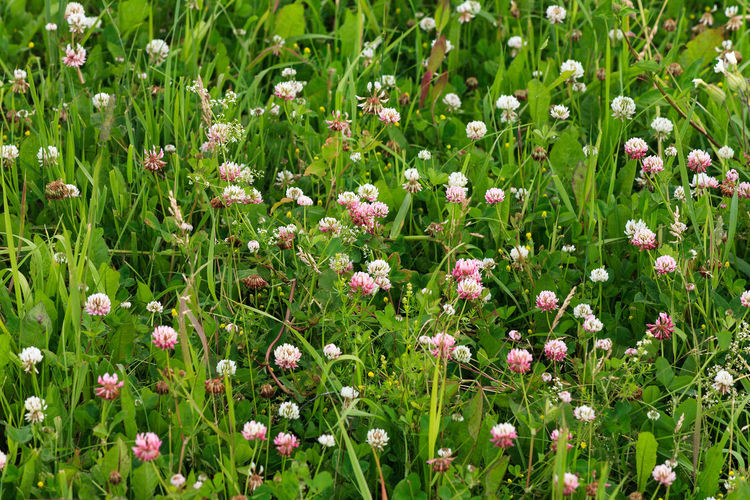 Clover Beauty In Nature Close-up Field Flower Flower Head Flowering Plant Freshness Full Frame Green Color Growth Land Nature No People Outdoors Plant Siberia Trifolium