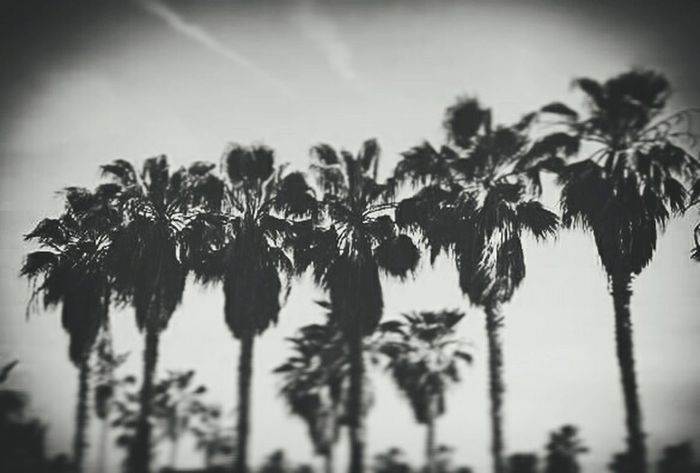 Palm Trees Venice Beach Grit Vinete Stylized Black And White Beachphotography Gallery Photography ArtWork Shooting