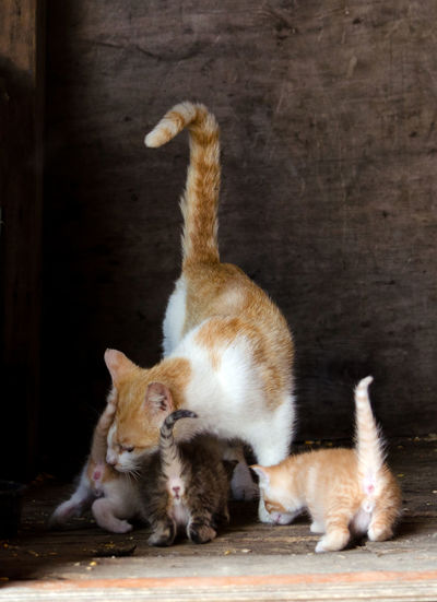 a mama cat cares for her new kittens in the family barn Care Family Kittens Animal Themes Animal Wildlife Barn Cats Building Cute Day Domestic Animals Domestic Cat Feline Indoors  Mama Cat And Kittens Mammal Old Barn Pets Togetherness Young Animal