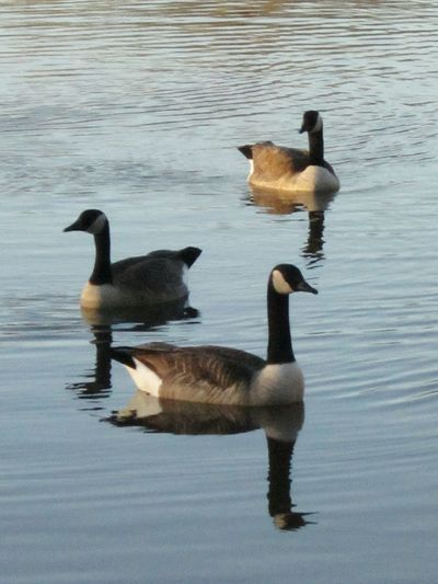 Geese At The Lake Lakebeauty Naturelover❤ Beautyeverywhere