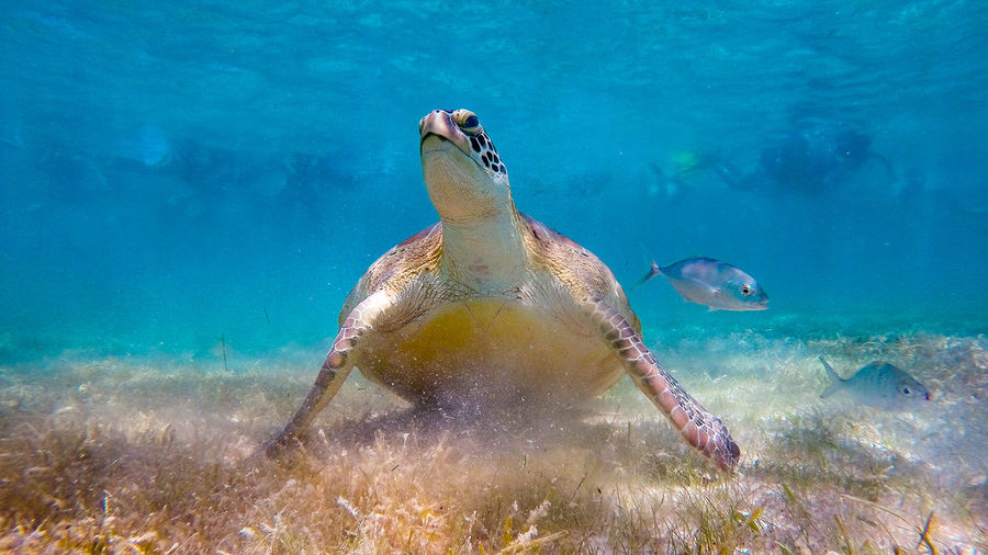 Sea turtle with other fishes swimming underwater