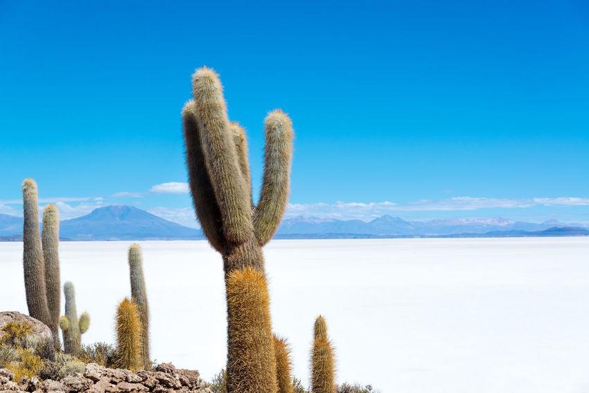 Cactus on Island Incahuasi with the Uyuni Salt Flats visible below in Bolivia Altiplano Andean Andes Atacama Blue Bolivia Desert High Landscape Latin Mountain Mountains National Natural Nature Panorama Park Scenery Scenic South America Tour Tourism Travel Uyuni Volcano
