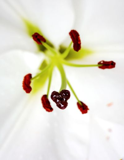 Lily close up Macro Nature Macro Photography Lily Flower Lily Lily Close Up Lily Macro Flower Flowering Plant Freshness Plant Close-up Fragility Beauty In Nature Vulnerability  No People Nature Inflorescence Growth Pollen Flower Head