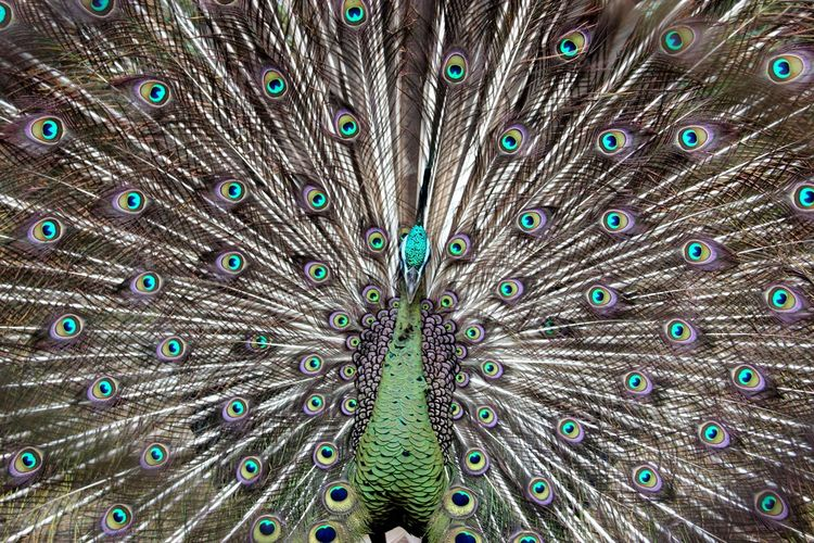 Animal Wildlife Beauty In Nature Bird Close-up Fanned Out Feather  Front View Multi Colored One Animal Peacock Peacock Feather Spread Wings