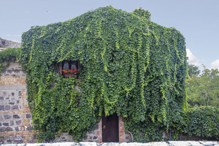 Ivy growing on tree by building against sky