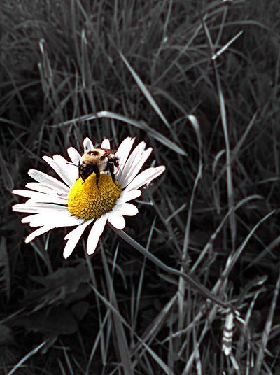 Daisy Bee 🐝 Coloursplash Summer2015