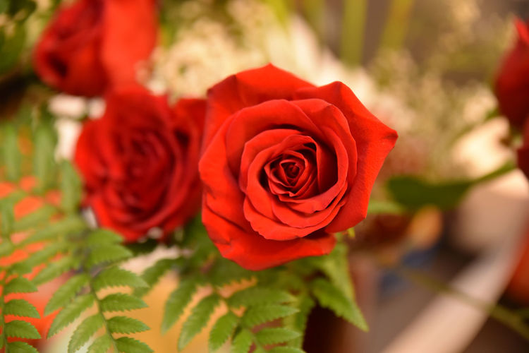 Valentine day's roses Close Up Flower Plant Rosé Valentines Day Red Focus On Foreground No People