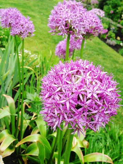 Purple Nature Flower Blooming Freshness Flowers,Plants & Garden Growth Fragility Beauty In Nature Plant Pom Pom Flower Allium Allium Flower Flower Head No People Outdoors Day Close-up