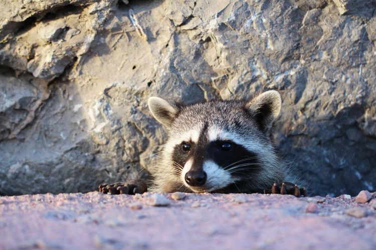 Close-up of a raccoon looking away against rock
