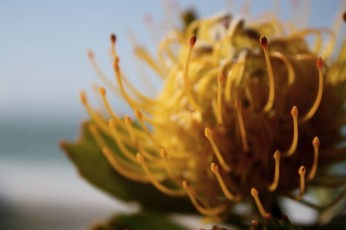 A beautiful cutting from a Protea that was given to me from someone very special. Cuttings Flower Flower Close Up Flowerporn Macro Macro_flower Macro Photography Pistil And Stamens Protea Protea Blossom Protea Flower Stigmas Yelllowflower Yellow Maximum Closeness Focus Object
