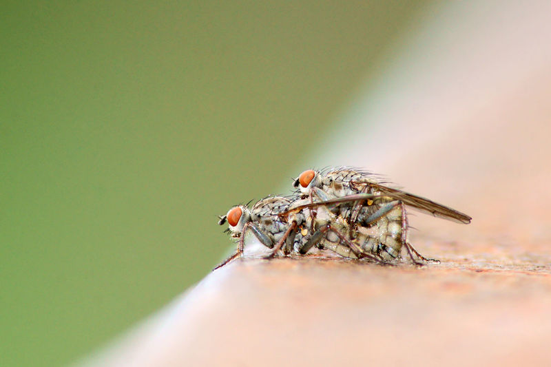 Flies mating on retaining wall