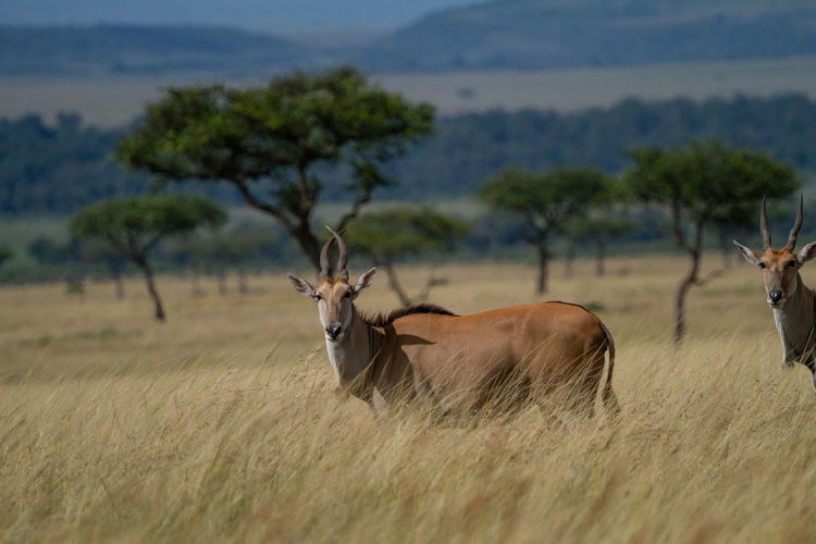 Eland - the largest antelope in the world, in a field