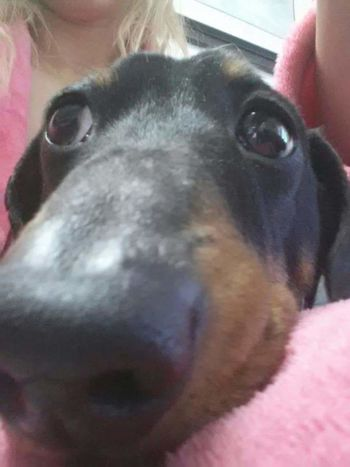 Vinnie LOL Cute Big Nose Wienerdog Weinerdog Dog Awh