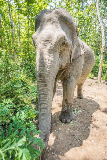 A mother Asian elephant Elephant Mother Elephant Asian Elephant