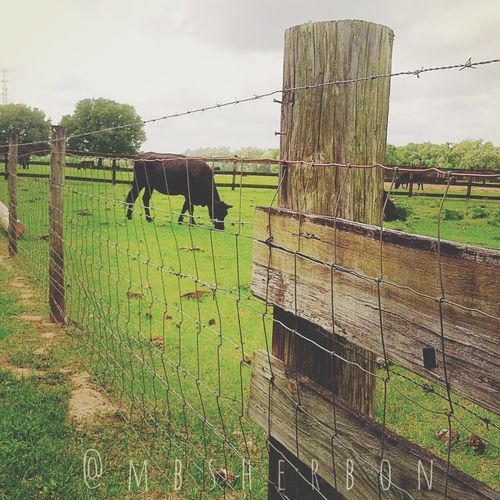 Florida Naturallight Landscape Farm Animals Cows Backroads Clouds And Sky Wideopenspaces Everyday Beauty