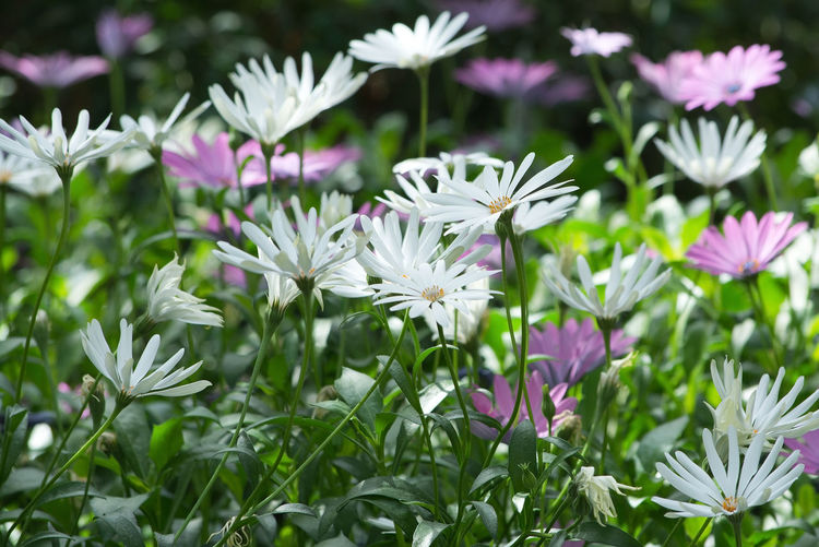 African daisy, South African daisy, Cape daisy (Dimorphoteca) flowers in purple and white. African Daisy Beauty In Nature Blooming Close-up Day Flower Flower Head Focus On Foreground Fragility Freshness Growth Nature No People Osteospermum Outdoors Petal Plant White Color