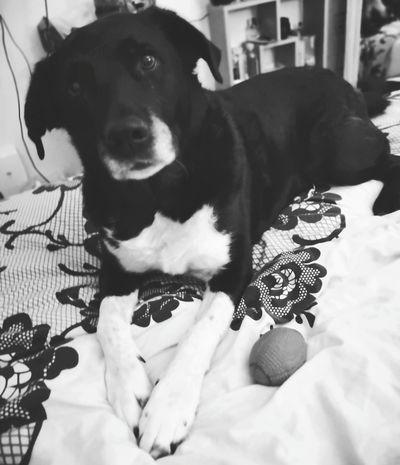 Pets Beagle Dog Sitting Puppy Portrait Close-up