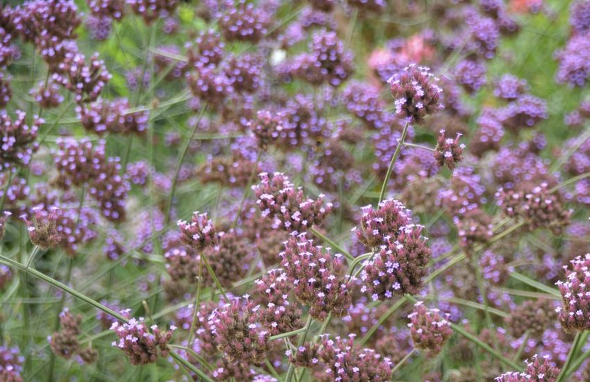 Beauty In Nature Close-up Day Field Flower Flower Head Flowering Plant Fragility Freshness Growth Land Lavender Lilac Nature No People Outdoors Petal Pink Color Plant Purple Selective Focus Softness Springtime Vulnerability