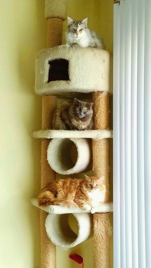 Stack of cats No People Close-up Animal Themes Cats Mainecooncats Ragdoll Cat Stratching Post Yellow