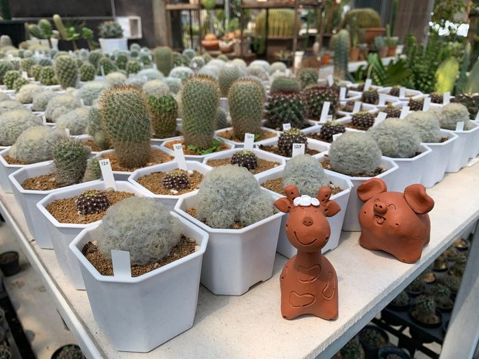 Potted Plant No People Representation Market Plant Succulent Plant Cactus Variation Large Group Of Objects For Sale Choice Human Representation Retail  High Angle View Creativity Art And Craft Growth Business Small Business Day Retail Display