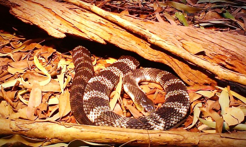 Australia 🇦🇺 Snakes Reptiles Cold Blooded Creatures No People Deadly Close-up Venomous Animal Themes Educational Animal Wildlife Backgrounds Dangerous Poisonous Wildlife Nature Sand Death Adder