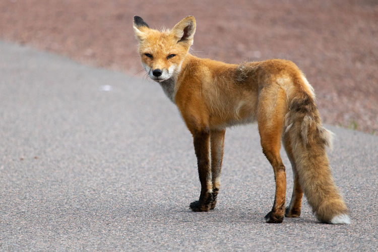 Fox enjoying the day! Naturelovers Canon Animals Nature_collection Nature Watching Foxes Animal Themes Tail Day Animal Orange Color Fox Portrait Looking At Camera Young Animal Close-up Fox Carnivora Stray Animal Whisker