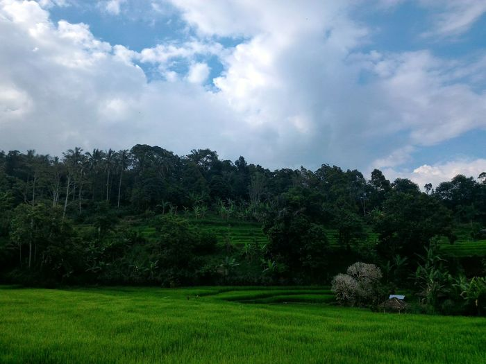 Tree Cloud - Sky Nature Beauty In Nature Sky Agriculture No People Landscape Grass Outdoors Day Freshness Travel Travel Destinations Tree Jatiluwih Wonderful Indonesia Paddy Fields Rice Paddy Rice Field
