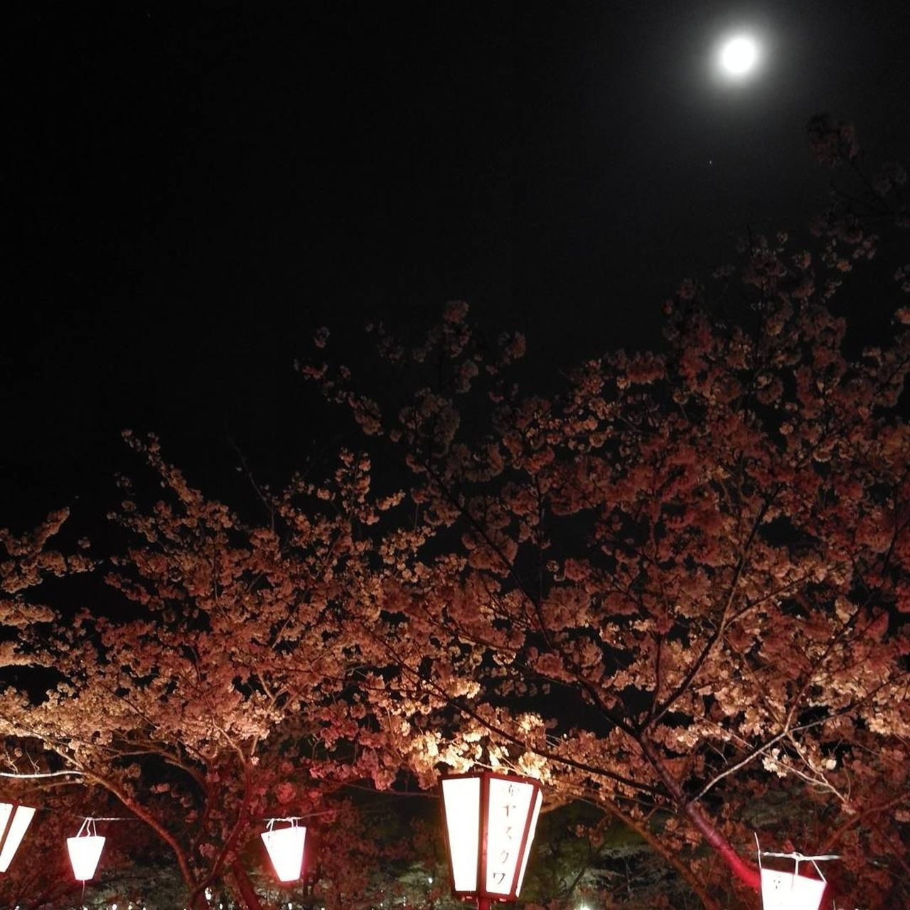 night, illuminated, tree, flower, low angle view, lighting equipment, growth, no people, nature, branch, beauty in nature, moon, outdoors, fragility, freshness, close-up, sky