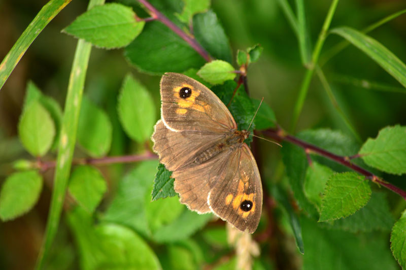 Gatekeeper Butterfly Animal Animal Antenna Animal Markings Animal Themes Beauty In Nature Butterfly Butterfly - Insect Close-up Day Focus On Foreground Gatekeeper Butterfly Green Green Color Growth Insect Leaf Natural Pattern Nature No People Outdoors Perching Plant Selective Focus Wildlife