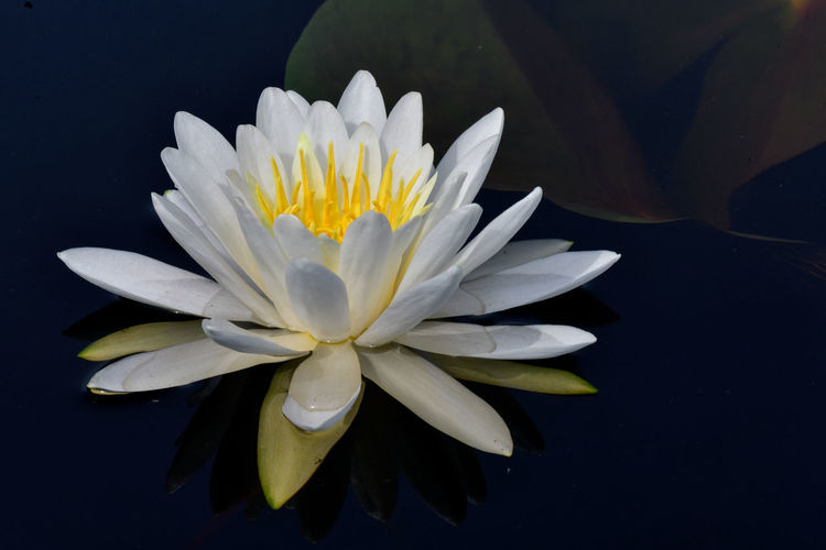 Close-up of water lily in lake