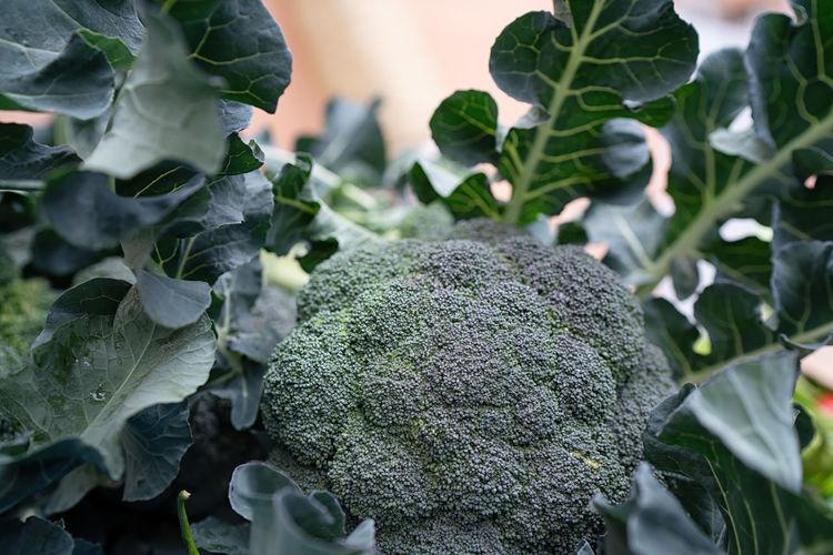 Broccoli Iznik
