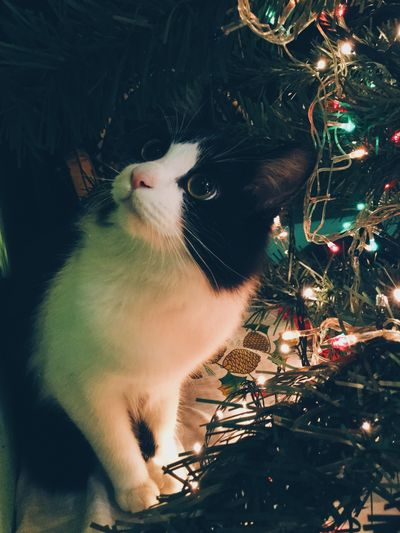 Home Interior Domestic Animals Pets Indoors  Day Christmas Tree Christmas Lights Christmas Decoration Domestic Cat Cat Holidays